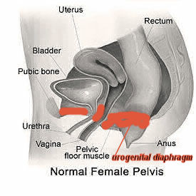 Normal Female Pelvis